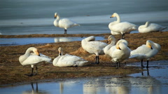 Wild swans in Iceland, preening and flapping wings, water reflection Stock Footage