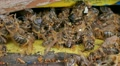 Dead and dying bees at the inlet to the hive 7 HD Footage