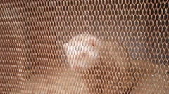 Fur-bearing animal in the cage Arkistovideo
