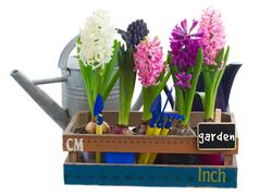 Watering cans  with hyacinth Stock Photos
