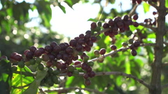 Sunlight through Coffee Beans on plant 2 Stock Footage