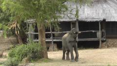 African Elephant stretching to reach a branch in front of a hut and rips it off Stock Footage