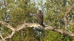 Western banded snake eagle sitting on a branch, looking around Stock Footage