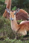 Impala (Aepyceros melampus) - stock photo