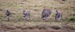 Plains Zebra (Equus quagga) - stock photo