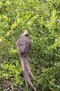 Speckled Mousebird (Colius striatus) - stock photo