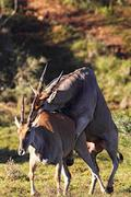 Common Elands mating - stock photo