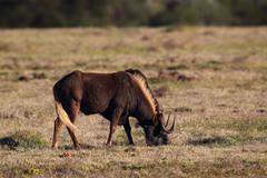Black Wildebeest (Connochaetes gnou) - stock photo