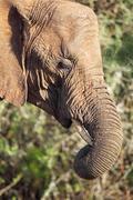 African Elephant (Loxodonta africana) - stock photo