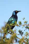 Black-bellied Starling (Lamprotornis corruscus) - stock photo