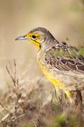 Cape Longclaw (Macronyx capensis) - stock photo