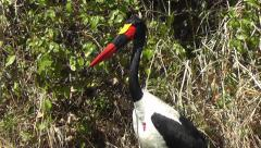 Close-up of a male Saddle billed Stork looking around Stock Footage