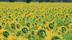 Sunflowers field in breeze,shallow follow focus Stock Footage