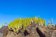 Green cactus plants on coastal promenade along ocean in Playa Blanca Stock Photos