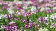 Purple Pink spider flower field blowing in the breeze Stock Footage