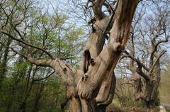 Vernouillet, old trees in rue du Bois de l Aulnay - stock photo
