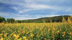 Yellow sunhemp flowers field swaying in the breeze. Stock Footage