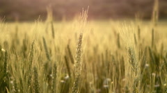 Wheat field background with shallow dof close up 2 Stock Footage