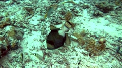 Fish dives under Coral on Palau - stock footage
