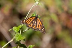 Stock Photo of Monarch Butterfly