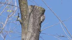 Woodpecker Pecking Tree Trunk Stock Footage
