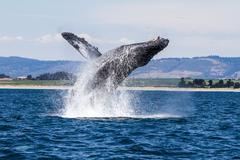 Humpback Whale Breaching Kuvituskuvat