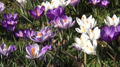 Fly over the crocuses in the spring Stock Footage