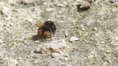 bumble bee consuming mineral from arid soil - stock footage