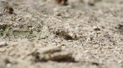 bee consuming mineral from arid soil - stock footage