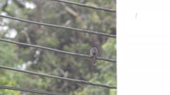 Dark-backed Sibia bird rest on the iron wire Stock Footage