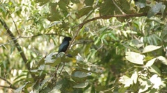 Greater Racket-tailed Drongo on the tree - stock footage