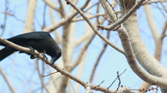 HD footage of crow on tree Stock Footage