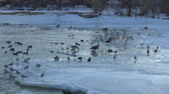 Waterbirds on half frozen lake/ 4k Winter landscape footage Stock Footage