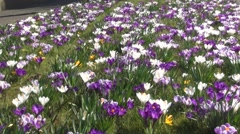 Look over Crocuses in the grass Stock Footage