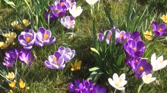 Look over the Crocuses in the sun Stock Footage