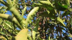 Coffee tree leaves Stock Footage