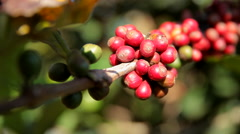 Fruit of the coffee tree Stock Footage