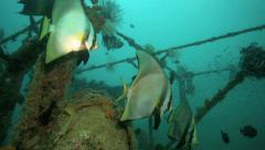 Batfish swimming inside artificial reef Stock Footage