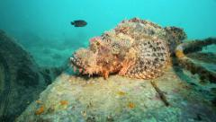 Large scorpionfish resting on coral underwater Stock Footage