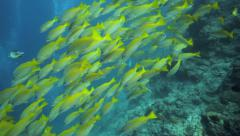 School of bigeye snapper swimming over coral reef Stock Footage