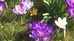 Zoom out of crocus Stock Footage