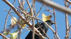 HD footage of Asian Koel Male on tree - stock footage