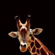 giraffe on the black - stock photo