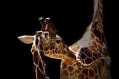 Two beautiful giraffes on the black background - stock photo