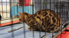 Bengal cat in a cage Stock Footage