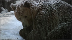 The brown bear in snow at nature winter Stock Footage