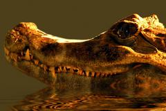 portrait of predator alligator on the water - stock photo