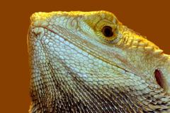 Stock Photo of portrait of beautiful lizard