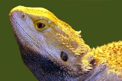 portrait of beautiful lizard - stock photo