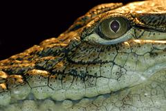 Stock Photo of portrait of predator alligator on the water